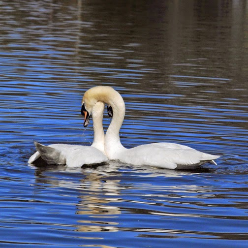 adult mute swans