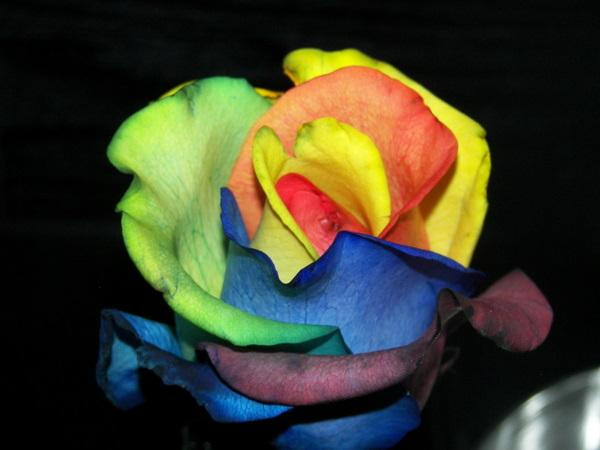 fibonacci sequence: How to grow a Rainbow Rose, Naturally