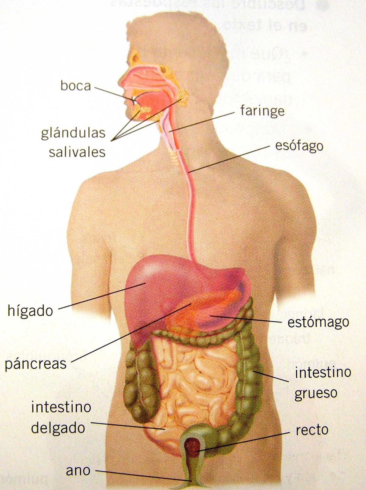 Encantador Cuerpo Humano Interno Foto - Anatomía de Las Imágenesdel ...