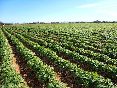 Cultivo de patata (Solanum tuberosum