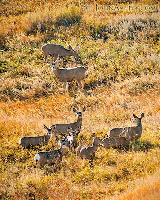 Central Montana mule deer herd (c) John Ashley