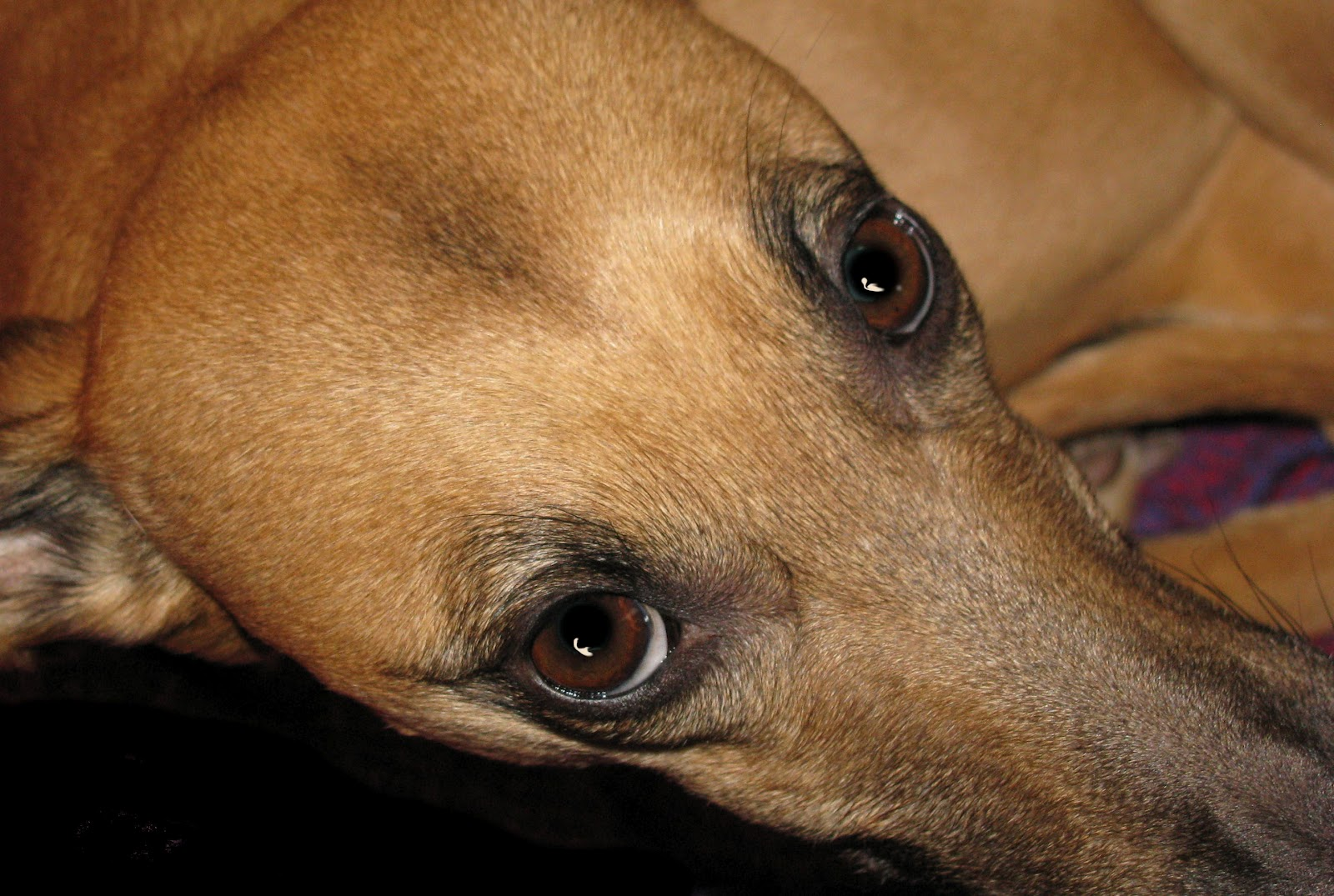 Whippet-Special: 2012