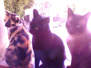 3 gatos na janela three cats onthe window kitten três lindos gatinhos catitos