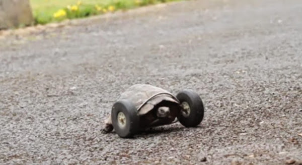 Mrs.T, 90-year-old tortoise who got her new pair of legs as wheels