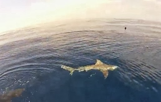 World sharks news florida shark fishing video off port for Shark fishing in florida