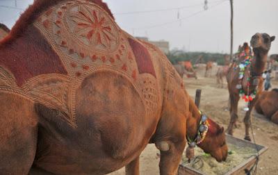 Animal, Karachi, Pakistan, Sale, Business, Livestock, Market, Hump, Patterned, Haircut, Traditional,