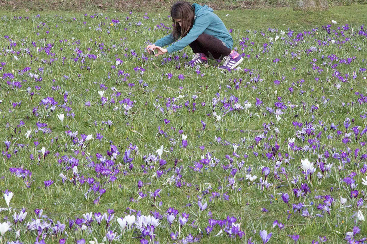 girl taking picture of crocuses