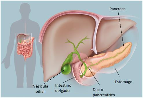 Glandula del Sistema Endocrino: Pancreas: Pancreas