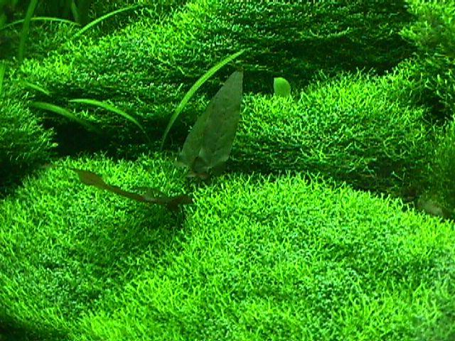 aquabie plant riccia fluitans crystalwort. Black Bedroom Furniture Sets. Home Design Ideas