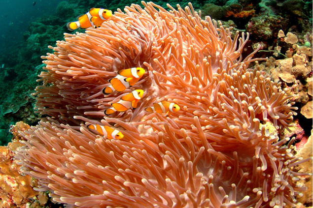 sea anemone and clownfish relationship commensalism mutualism