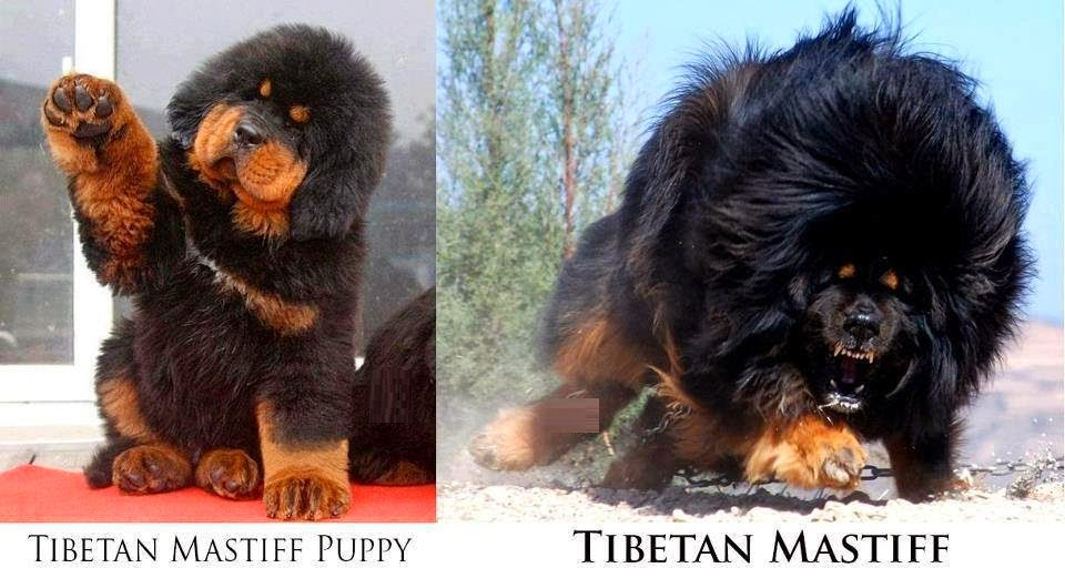 Los perros del Tíbet son como Pokémon