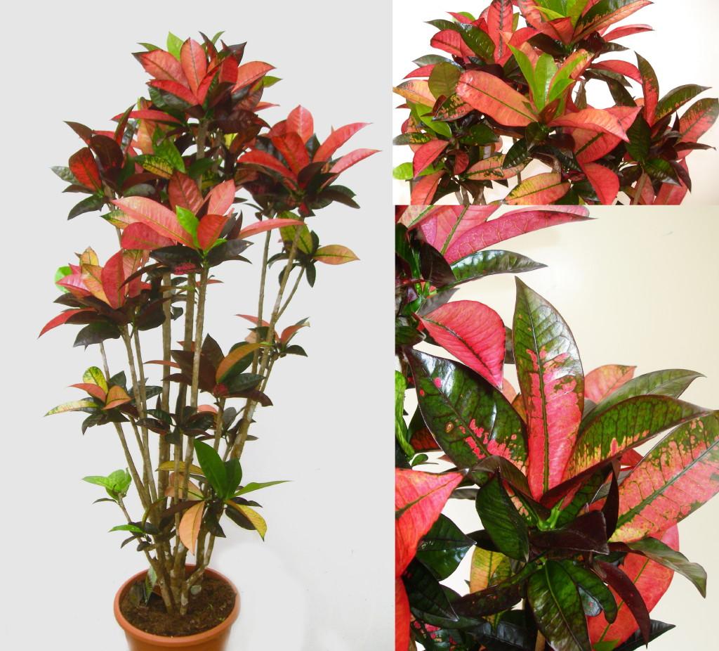 Viveros vangarden hojas rojas amarillas verdes - Plantas de hojas verdes ...