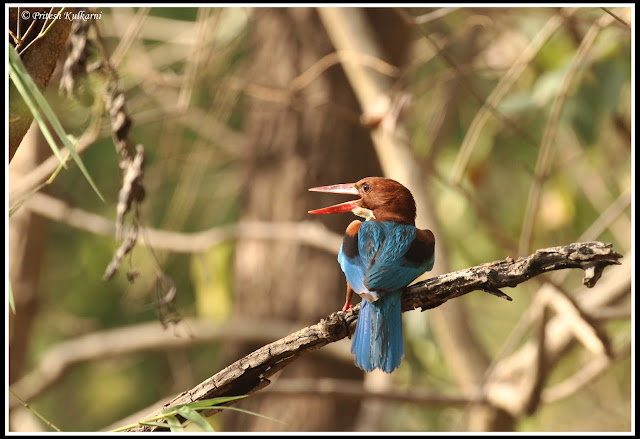 Blue Kingfisher, Kanha National Park