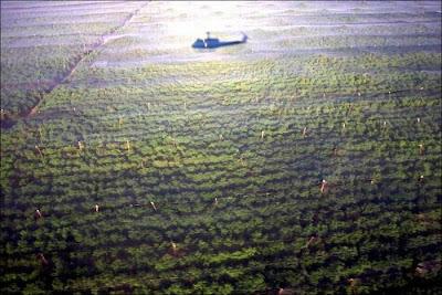 Perkebunan Ganja Terbesar di Dunia
