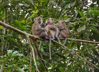 cara mengatasi serangan monyet
