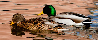 Mallard Ducks (Hen and Drake)