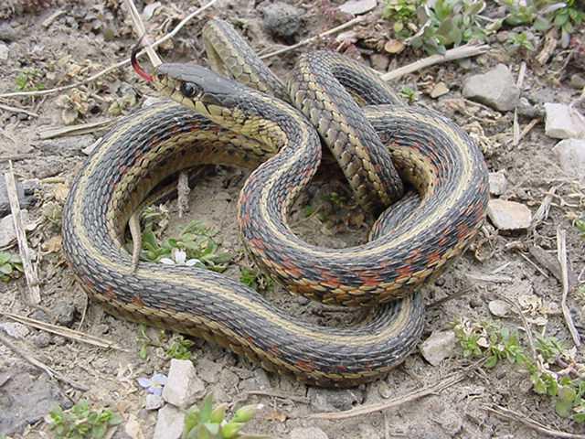 Snakes Eastern Garter Snake