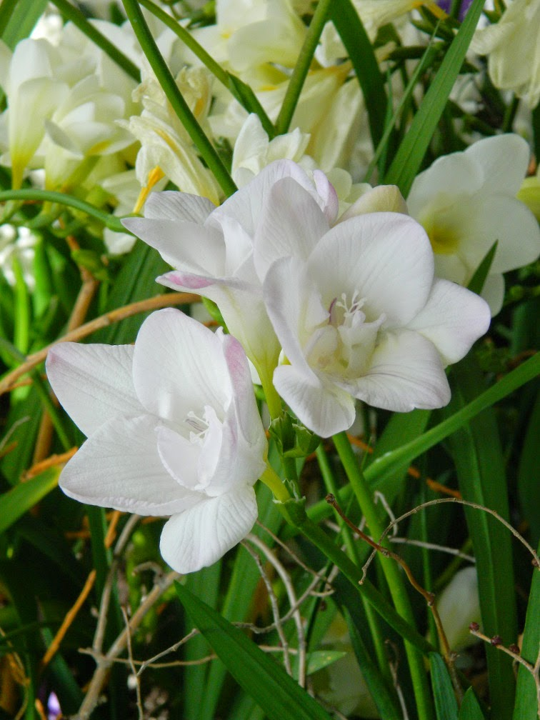 Centennial Park Conservatory 2015 Spring Flower Show white freesia by garden muses-not another Toronto gardening blog
