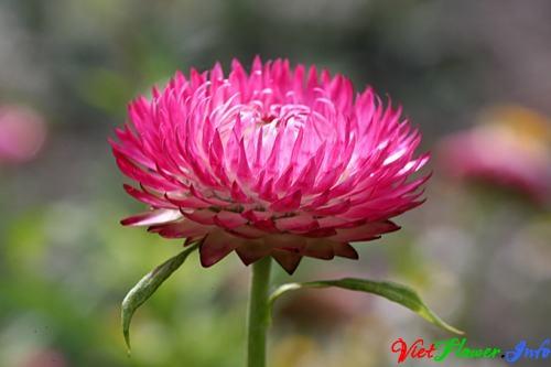 Ý nghĩa hoa cúc bất tuyệt