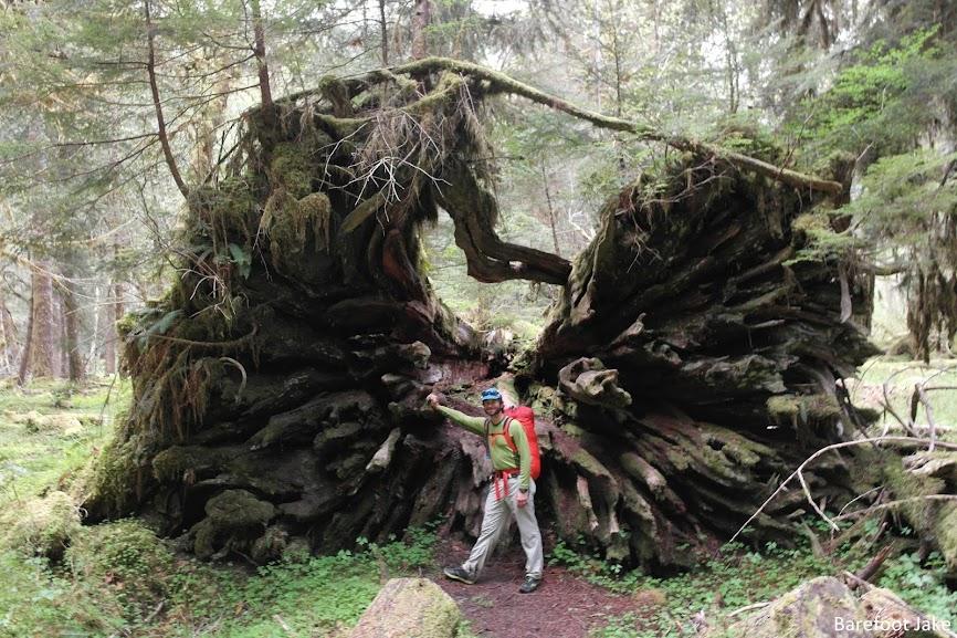 Quinault tree