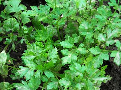 Plantas aromáticas para jardim