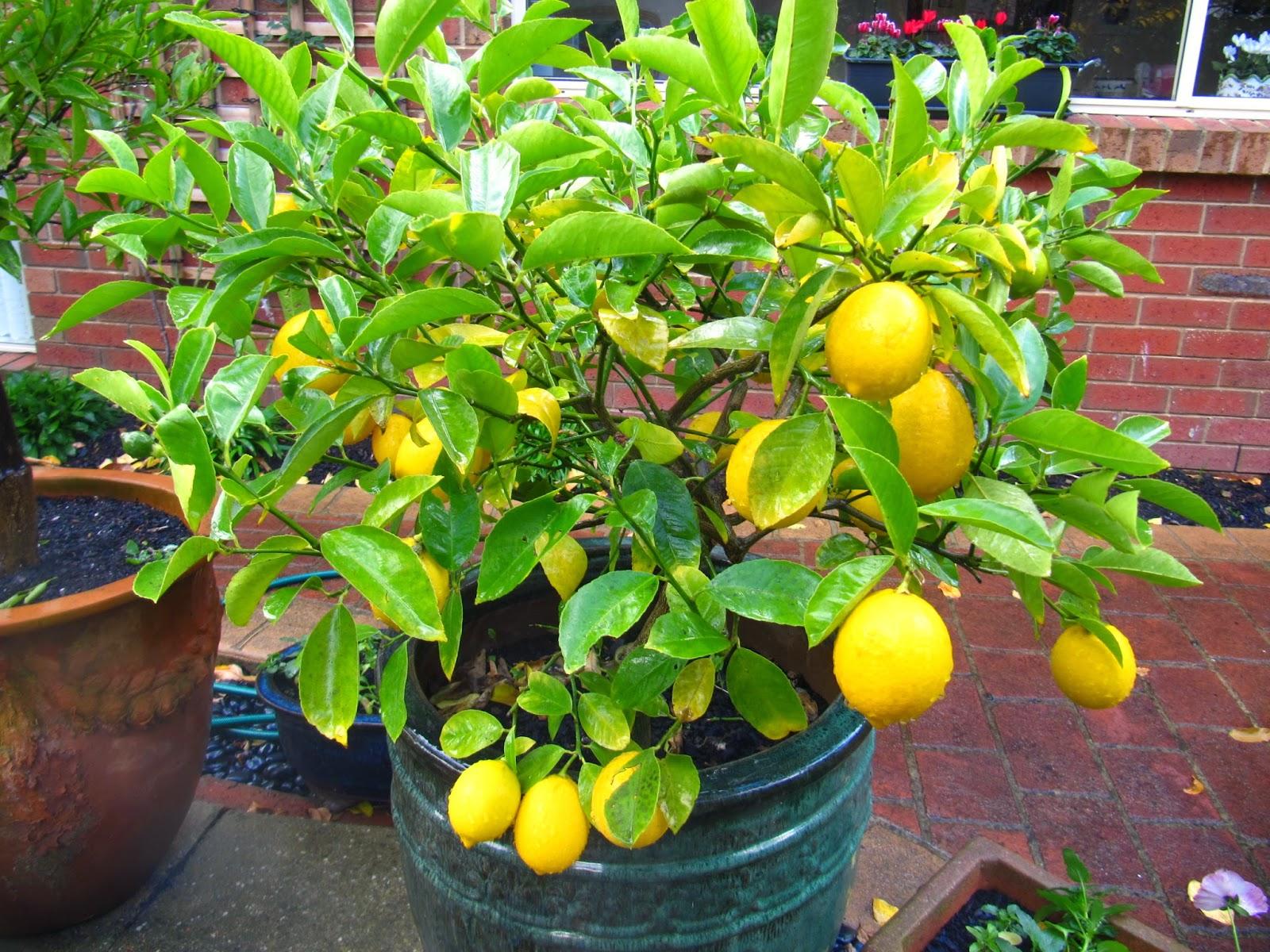 Build A Hot House For A Lemon Tree