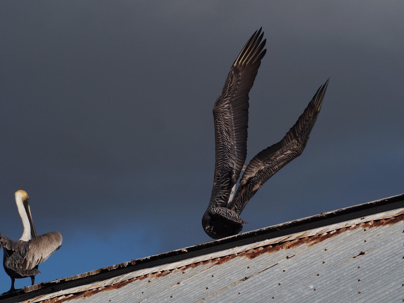 Taking Off, #pelican #pelicans #keywest #florida 2014