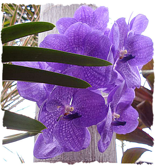 flowers for flower lovers. purple orchid flowers pictures, meaning., Natural flower