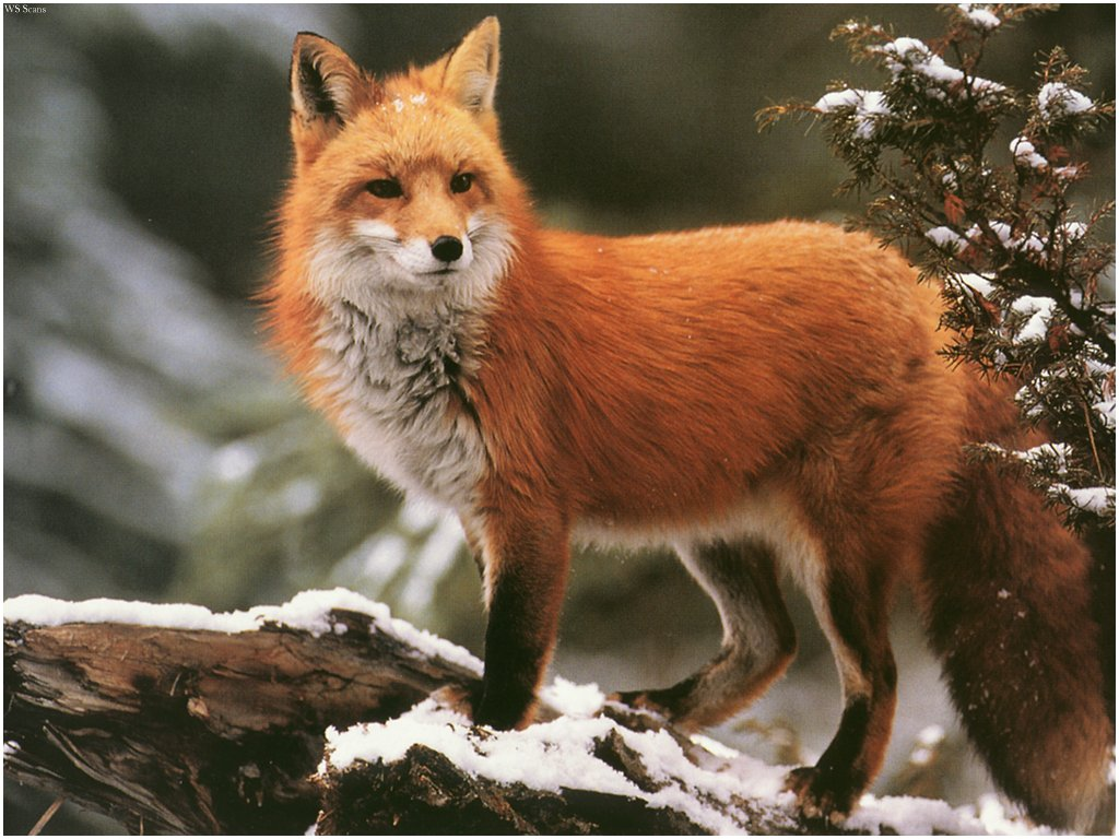 Red Foxes Wallpapers | Animal Literature