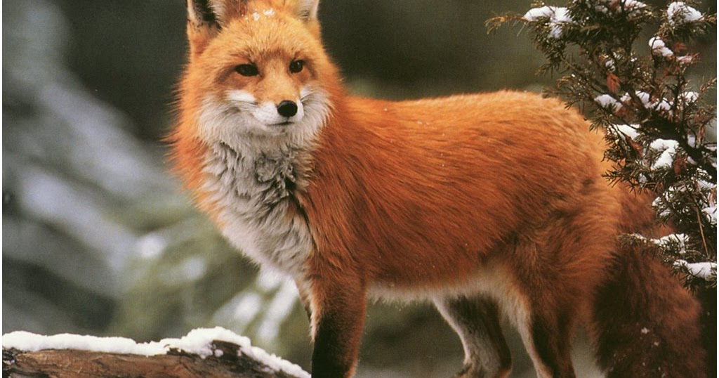 Red Foxes Wallpapers - Pets Cute and Docile