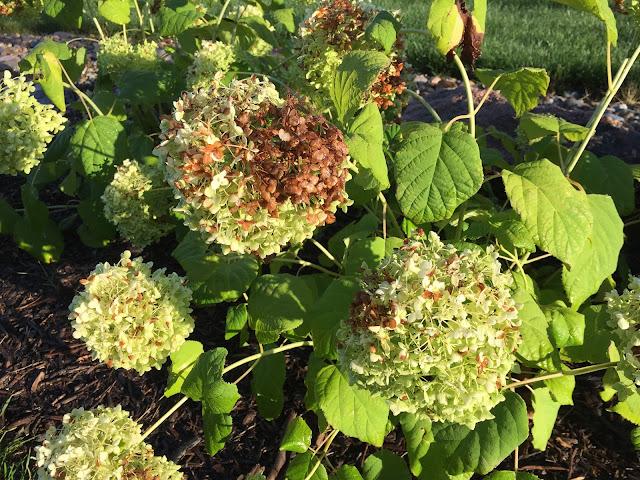 brown flowers annabelle hydrangea