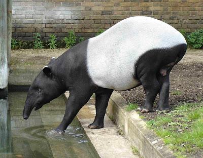 foto tapir asia atau malayan tapir