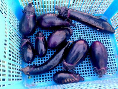 しずると黒紫大長茄子