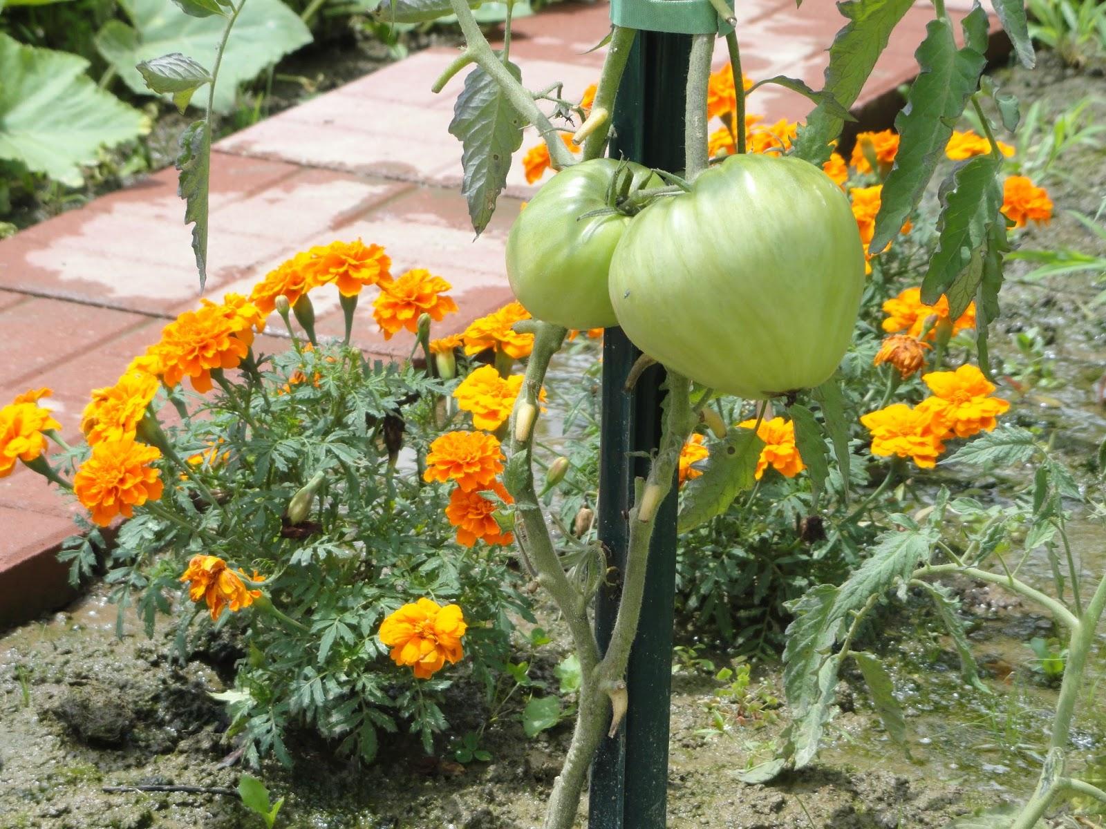 Dr tsai 39 s blog garden friends and foes companion planting - Plant vegetable garden friends foes ...