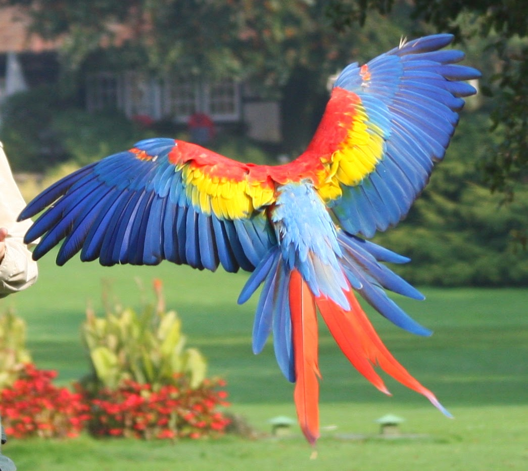 Red Macaw Parrot Flying Life and Entertainment...