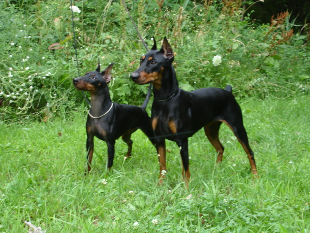 manchester toy terrier - photo #15