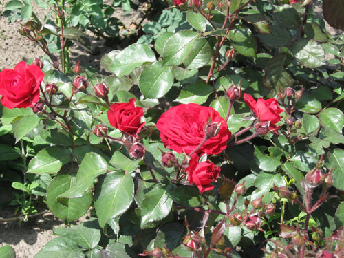 Klassinen punainen ruusu