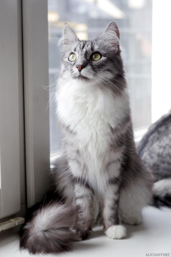 aliciasivert, alicia sivert, alicia sivertsson, katten tofslan, katten vifslan, katt, katter, adoptivkatter, grådvärgarna, cat, cats, adopted