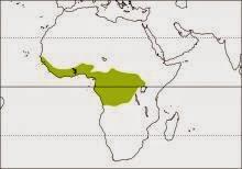 Congo pied hornbill Lophoceros fasciatus