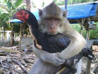 foto lucu cinta ayam dan monyet