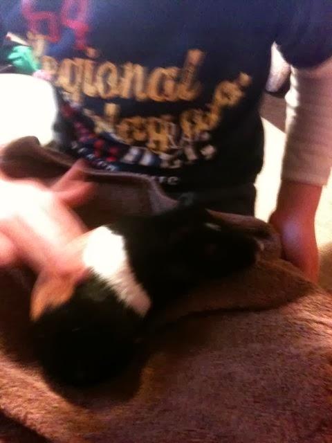 stroking a guinea pig