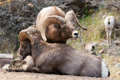 Waterton Canyon Bighorn Sheep