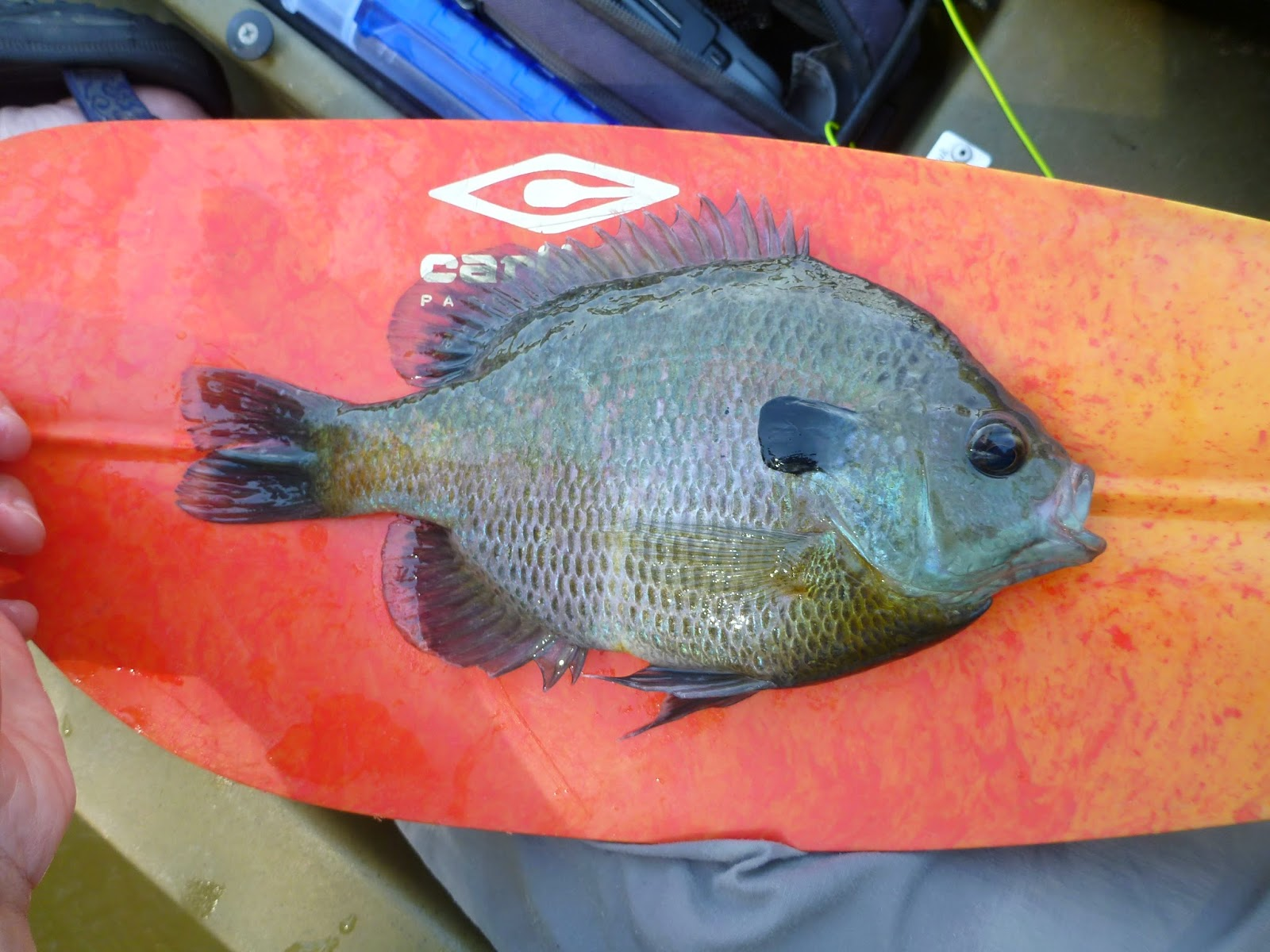 The Naturalist's Angle: Easter Bass and Bluegill
