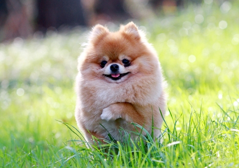 Cute Pomeranian Puppies Pics | Cute Puppy Images Pictures