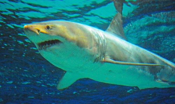 A Great white shark that was kept in a giant  aquarium in  Japan died after just three days in captivity.   Japanese experts are probing the cause of the death at Okinawa Churaumi Aquarium, though Great white sharks are not known to survive in captivity