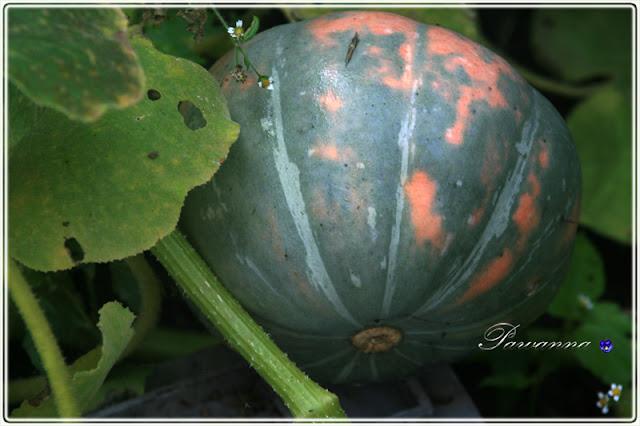 jesienne migawki, pampkin, fall