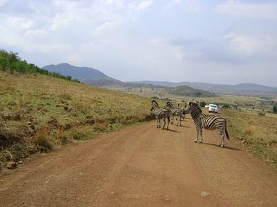 Zebry widziane na drodze  w czysie wycieczki do Pilanesberga