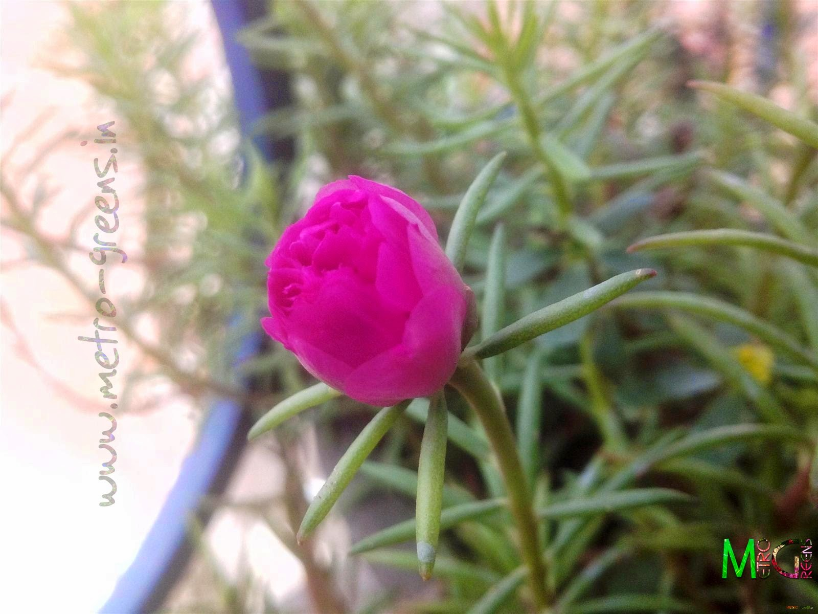 Metro Greens: A pink portulaca (double variety) bud.