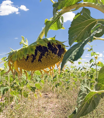 plant sunflowers feeds