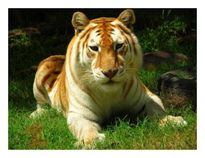 Golden_Tabby_Tiger